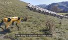 Собакообразный робот Spot переквалифицируется в пастуха овец (видео)